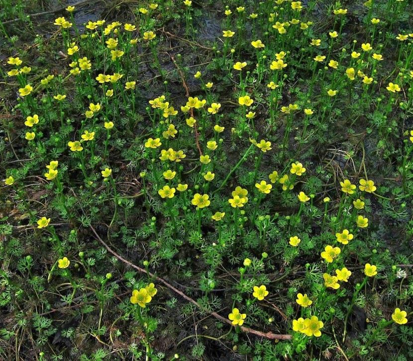 Yellow Water Buttercup